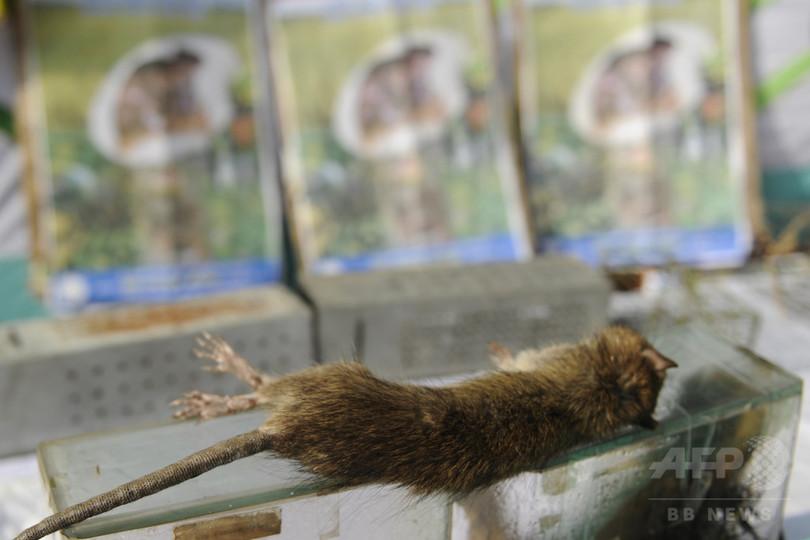 年16万匹!ネズミ駆除王に農家男性 バングラデシュ