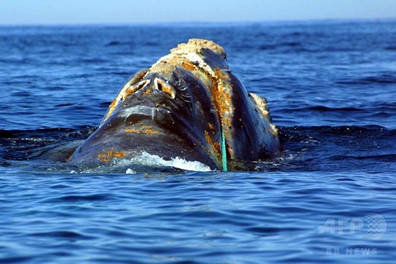 タイセイヨウセミクジラ「異常な大量死事象」 米カナダが調査へ