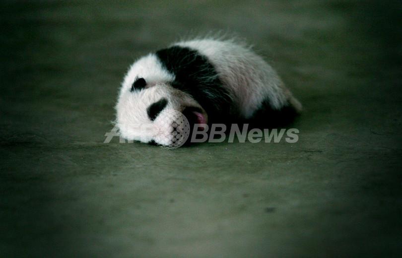 中国のパンダ、11月にも台北の動物園へ