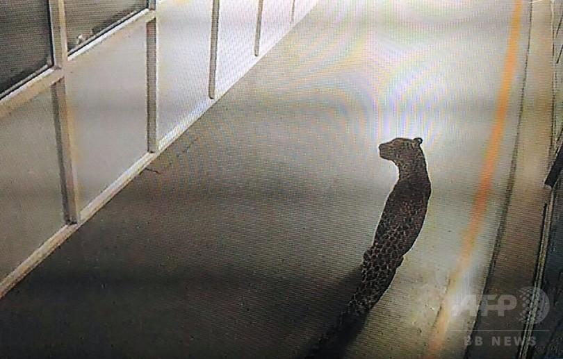 スズキ子会社の工場にヒョウ侵入、大規模な捕獲作戦展開 インド