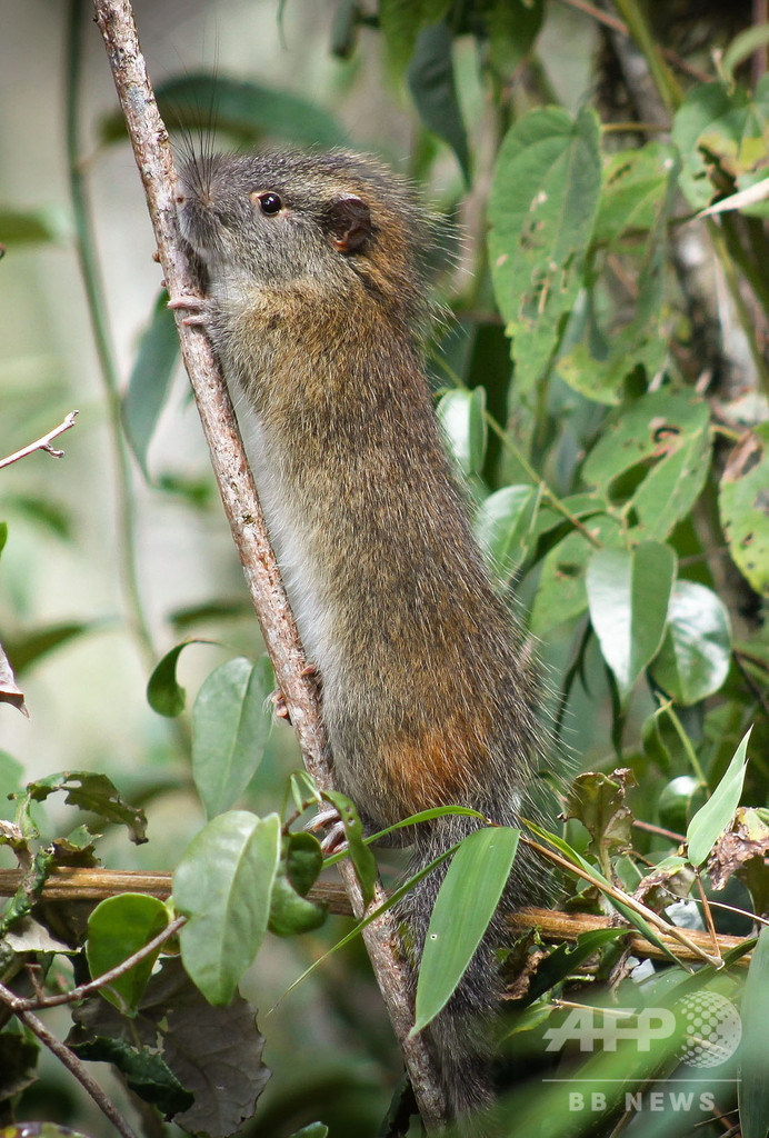 希少な「タケネズミ」、マチュピチュの竹林で10年ぶり確認 初撮影