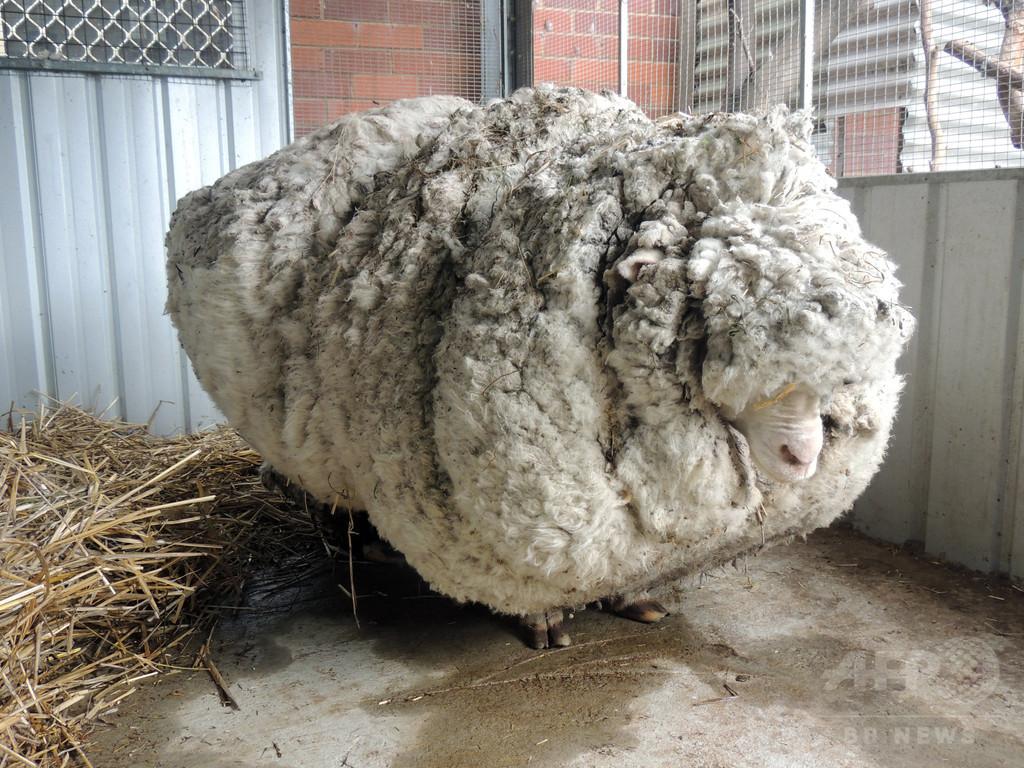 毛が伸びすぎた巨大羊、ギネス記録を更新 豪州