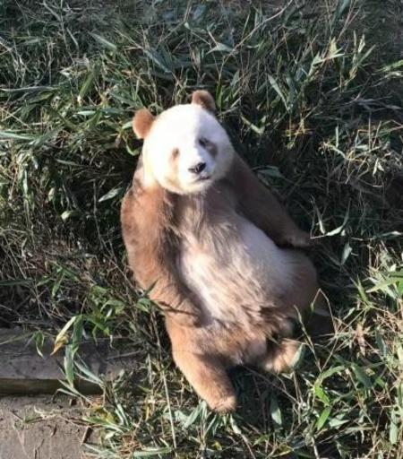 世界唯一の茶色パンダ「七仔」が養子に、米国の非営利団体が養親
