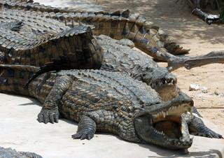 動物園のワニ、来園者に石投げつけられ死ぬ チュニジア