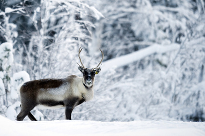 北欧伝統のトナカイ遊牧、鉱山開発で危機に スウェーデン
