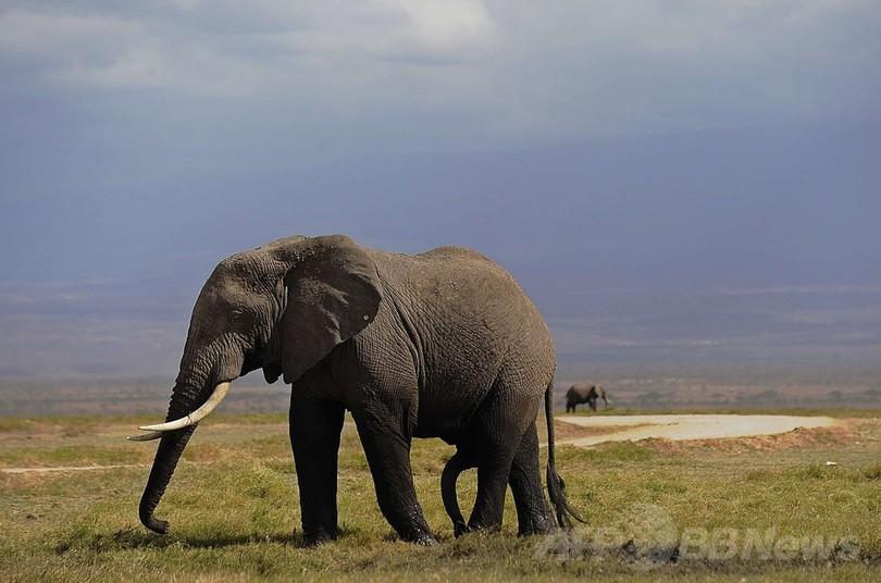 アフリカゾウ、人間の言語を聞き分けている可能性