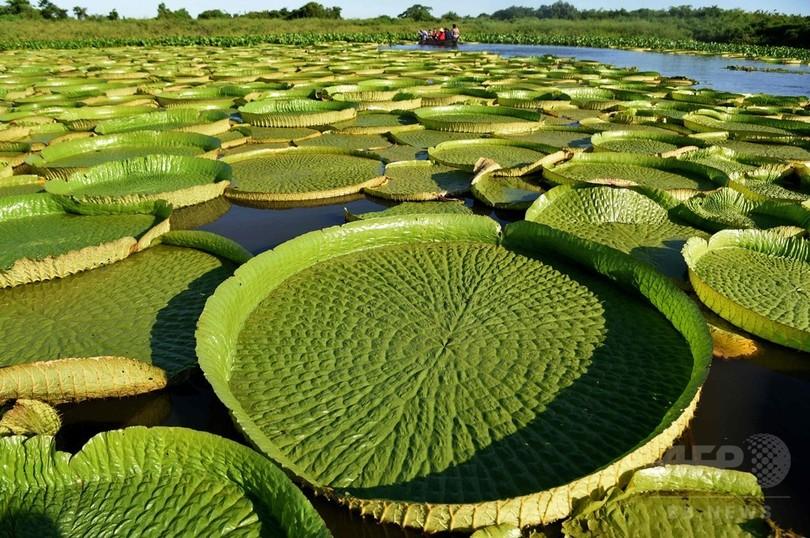 地元の「国宝」 直径1.5mのオオオニバス パラグアイ