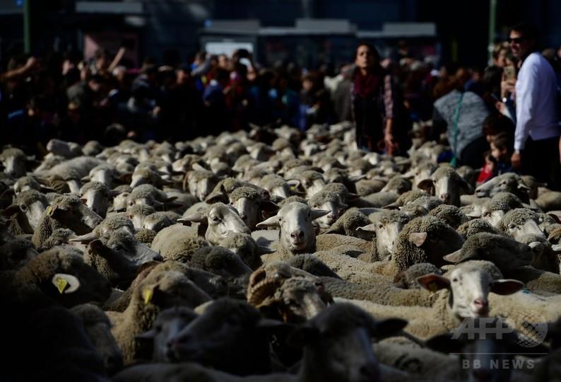 スペイン首都を羊1600頭が行進