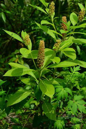 新種の植物を発見、レッドリストにも登録 湖北省の自然保護区