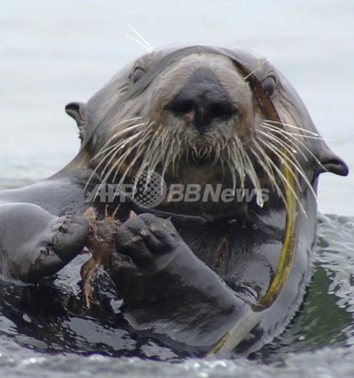 ラッコが海草の回復に一役、米研究