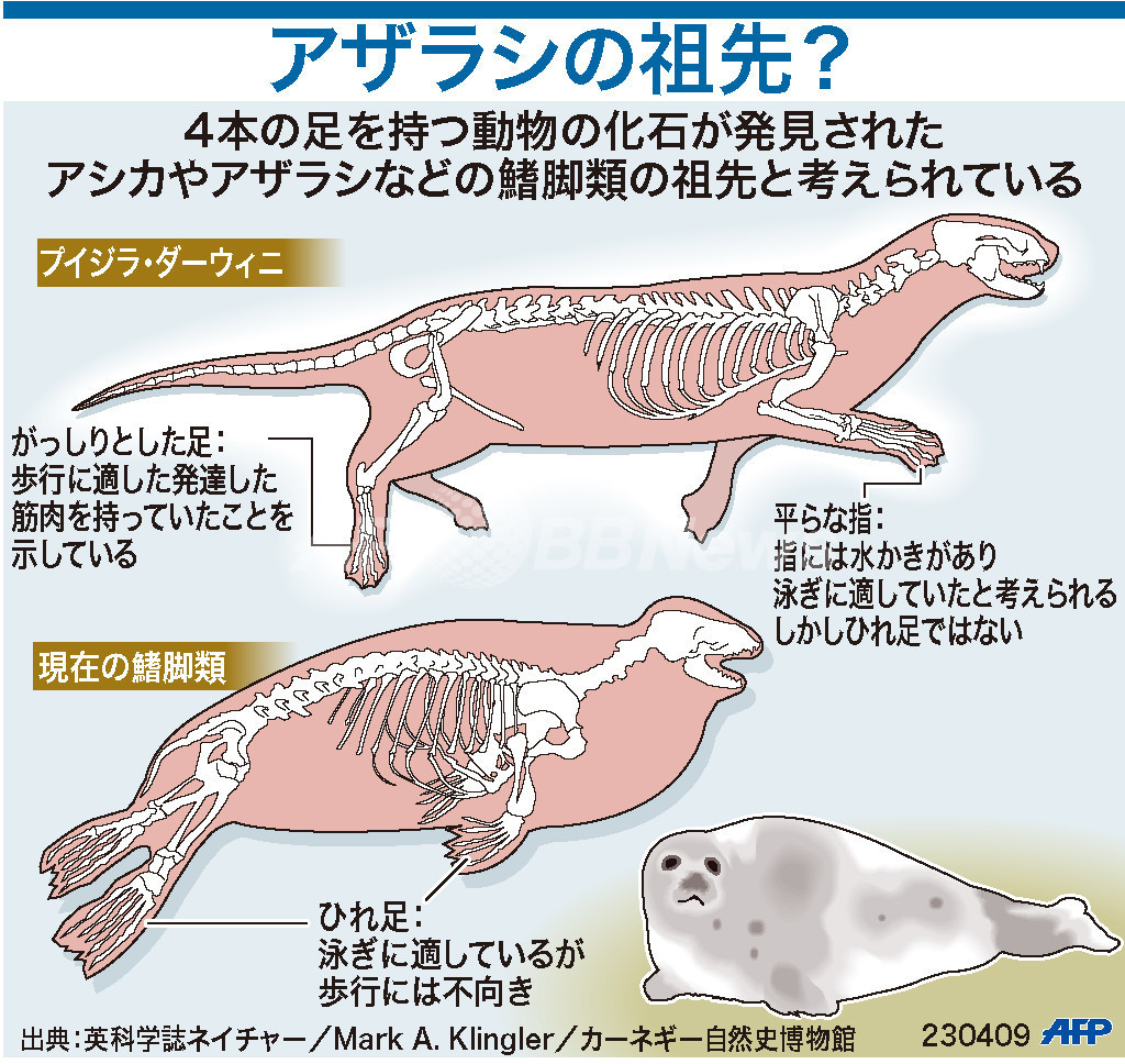 【図解】アザラシの進化裏づける化石発見