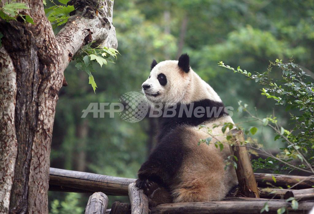 中国で「オス」と思われていたパンダが出産