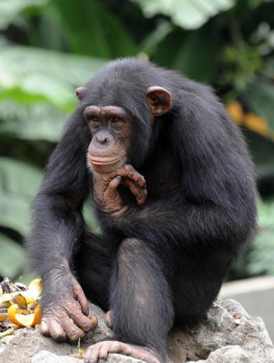 天然資源開発で類人猿の生息地縮小、専門家らが警鐘 国連