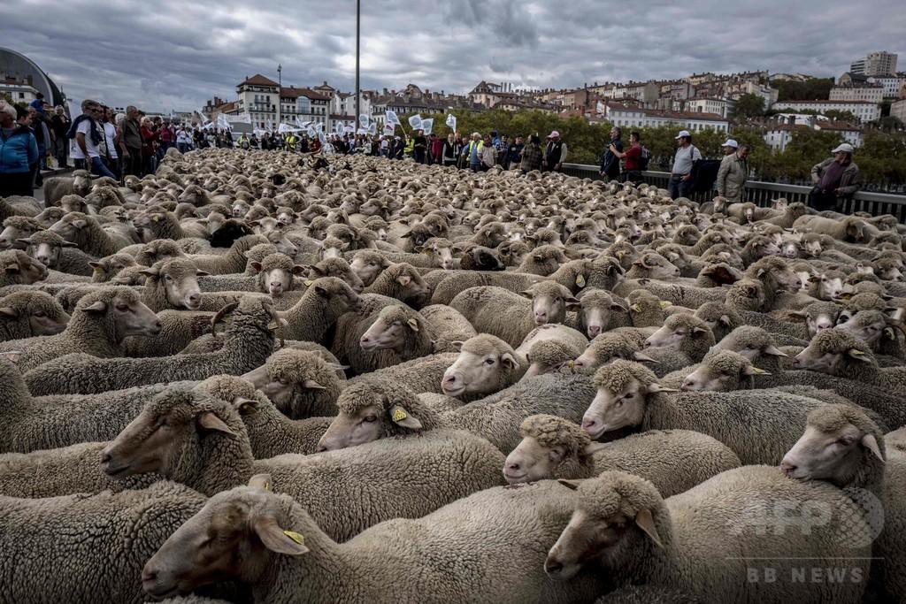 オオカミに殺される動物は年1万匹超、ヒツジ連れて抗議デモ フランス