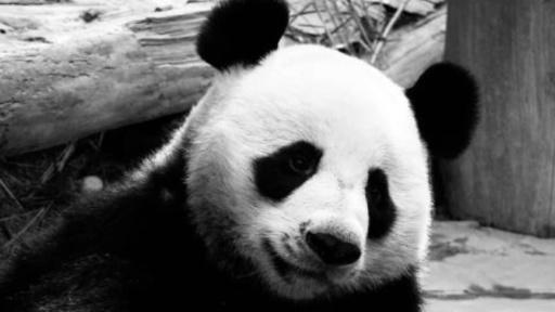 タイのパンダ「創創」の死因は心不全