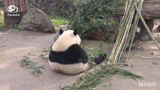 動画:【パンダフル】後ろ姿もかわいさ満点