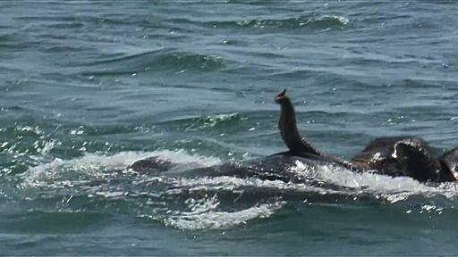 動画:スリランカ海軍、沖に流されたゾウをまた救出 今度は2頭