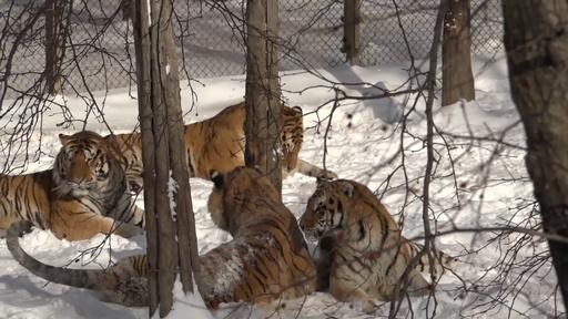 動画:雪の中でたわむれる「山中の王」アムールトラ