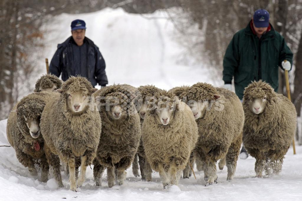 出産に向けて体力づくり、母羊が雪の中をお散歩