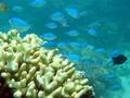 サンゴ礁の魚、群れからの分離がストレスに 豪研究