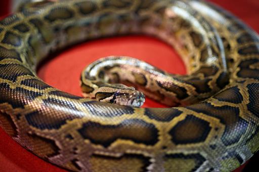 カナダで男児2人を殺したヘビ、無許可で飼育