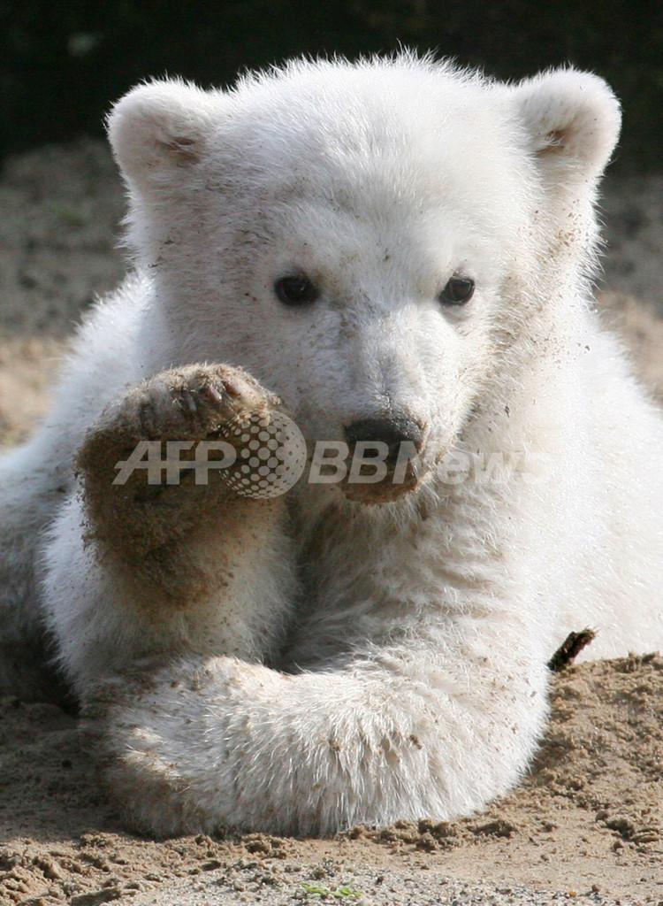 人気ホッキョクグマのクヌートが急死、ベルリン動物園