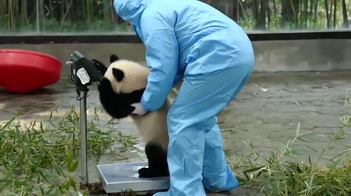 動画:祝日の後は太る? 上海動物園で動物の体重測定