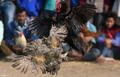 鶏の脚に着けた刃物で鼠径部に重傷、闘鶏関係者が失血死 インド