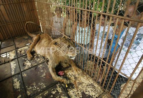 ベイルートのごみ捨て場で「捨てライオン」見つかる