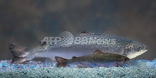 遺伝子組み換え動物、承認第1号目前のサケに待った 米国