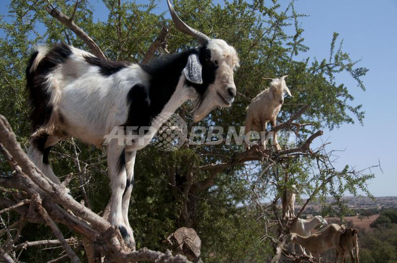 アルガンの木にヤギが鈴なり、モロッコ