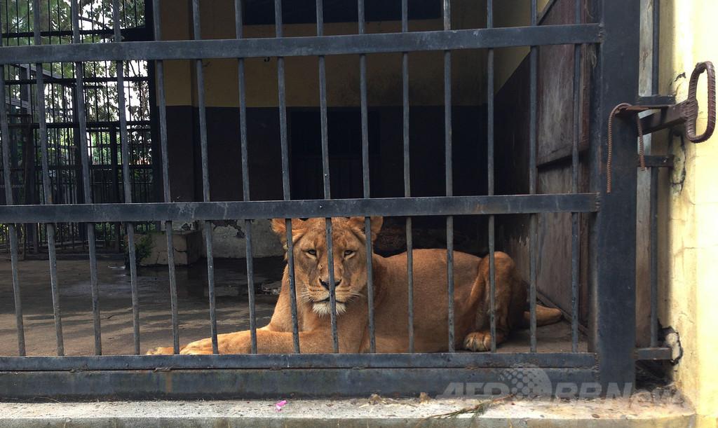 インドネシア「死の動物園」でライオンが首つり