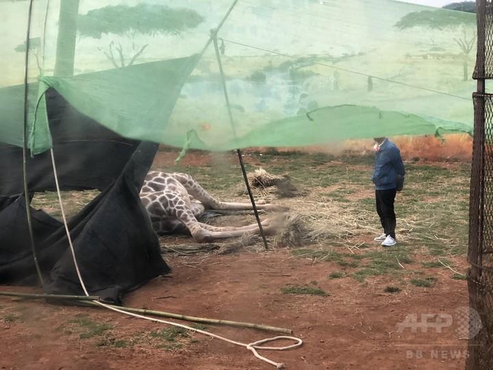 キリン死ぬ、首が木の枝に挟まり負った傷で 昆明の動物園