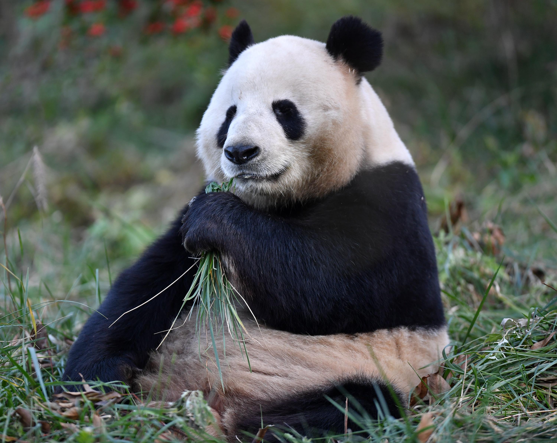 寒い冬でもぽっかぽか 日向ぼっこを楽しむパンダ 中国・陝西省