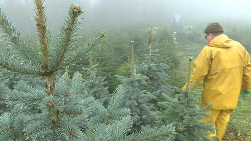 動画:地球温暖化、クリスマスツリーにも影響