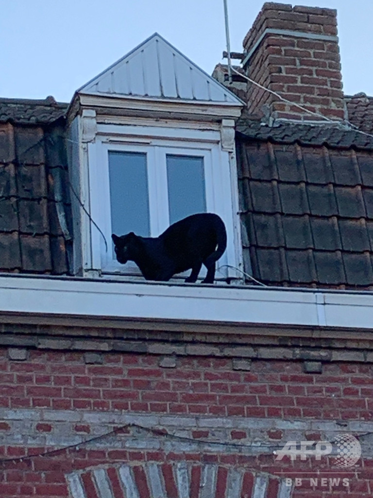 黒猫と思いきやクロヒョウ…仏アパートで捕獲 違法飼育か