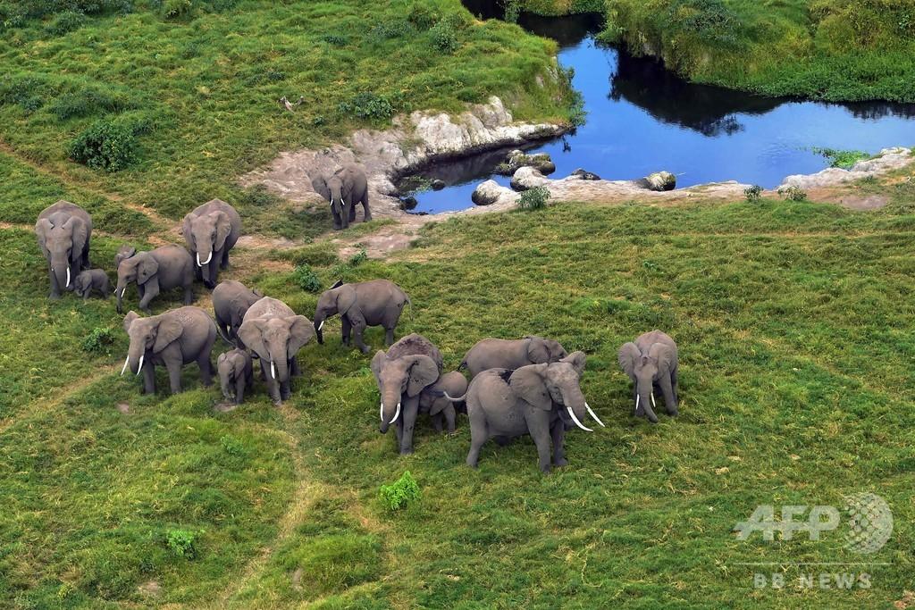 野生アフリカゾウの動物園移送、ほぼ全面禁止へ ワシントン条約会議