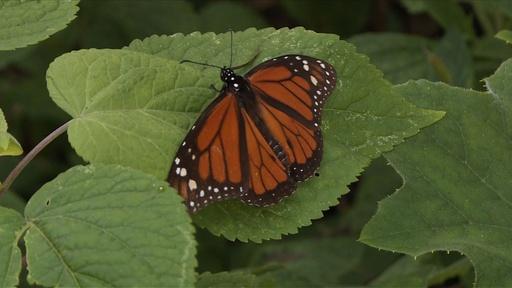 動画:「渡り蝶」のオオカバマダラ、4000キロ移動し越冬
