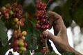中米でコーヒーのさび病が拡大、3分の1が打撃