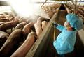 中国で新型豚インフルを確認、パンデミックの可能性も