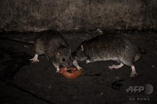 大災害の前触れ? 大量のネズミ襲来で住民らに不安募る ミャンマー