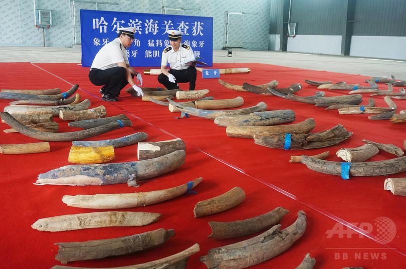 中国でマンモスの牙156本など押収、18億円相当か
