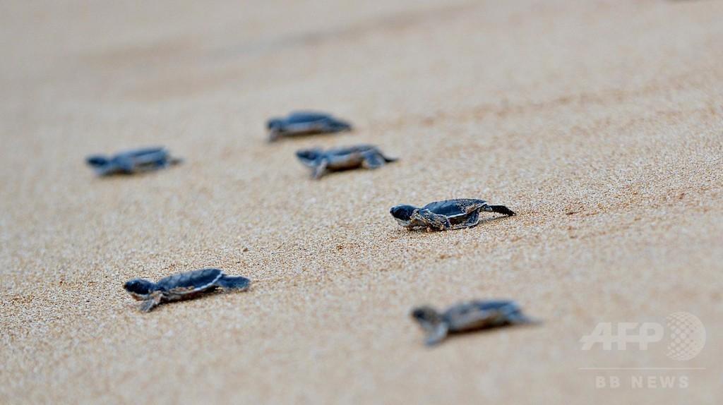 ウミガメの赤ちゃん、いざ海へ スリランカ