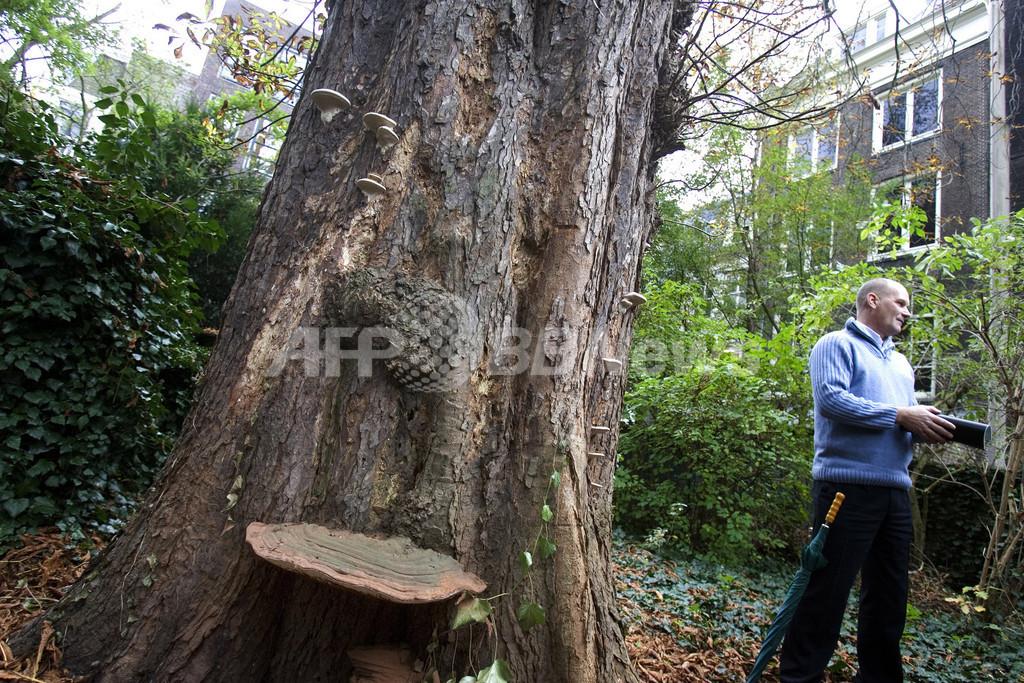 「アンネの日記」に登場するクリの木、伐採が決定
