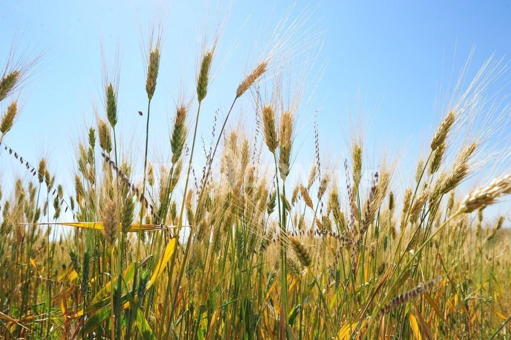 農作物の害虫・疫病、温暖化で高緯度へ拡大