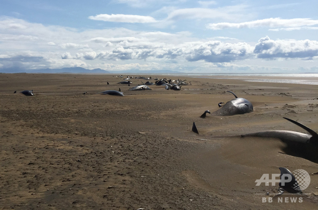 謎のクジラ大量死、アイスランドの浜辺に約50頭打ち上げ