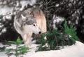 タイリクオオカミ、米絶滅危惧種から除外 猟も再び可能に