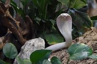 白変種のタイコブラの赤ちゃん、フランス