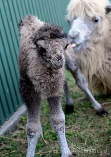 フタコブラクダの赤ちゃんがお披露目、ブダペスト動植物園