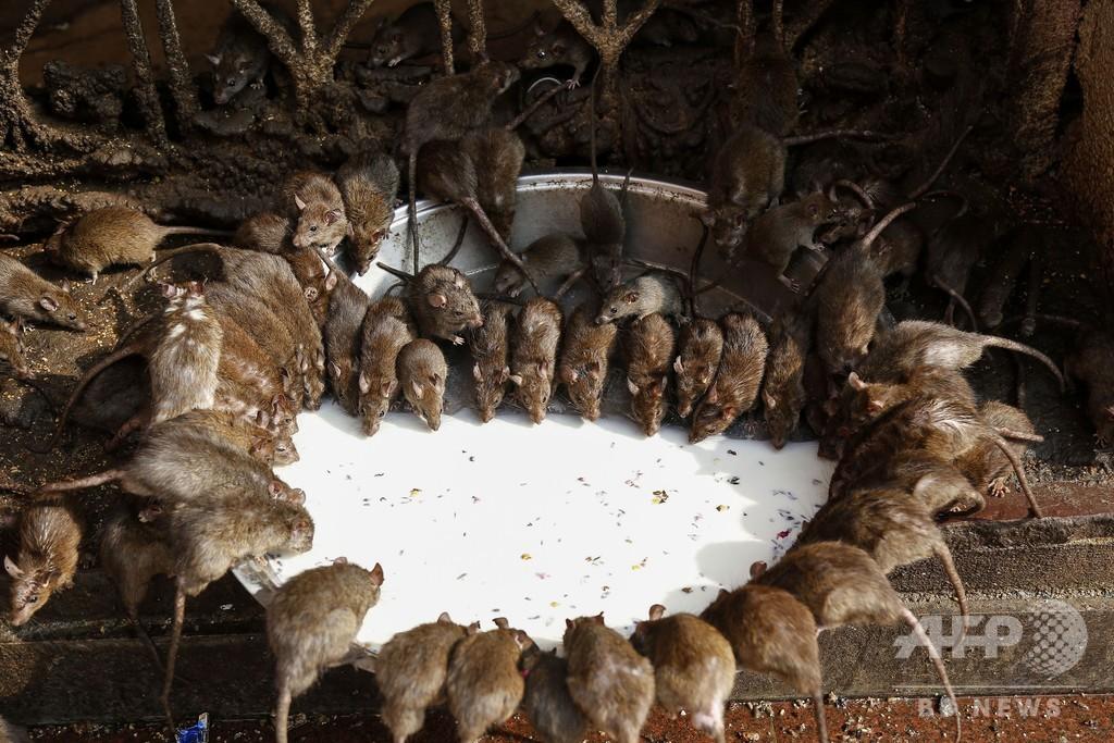 お供え先はネズミたち?インドのヒンズー寺院